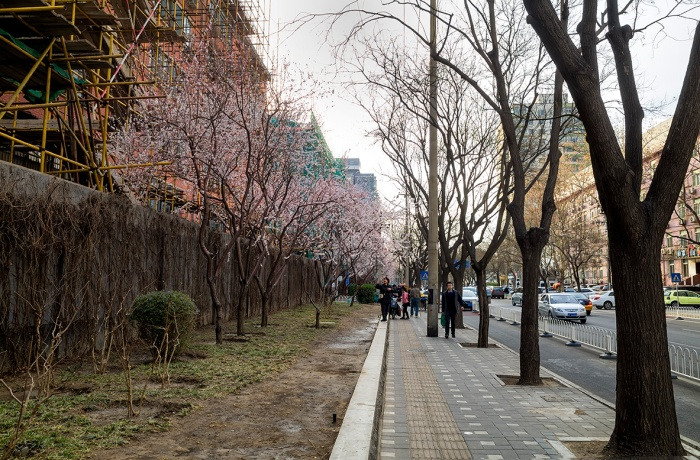 Peach trees in blossom on Baiwanzhuang Street, Xicheng, Beijing, China.